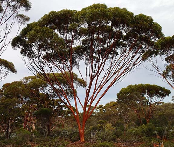Gum Tree Leaves Can Signal Gold In The Soil Below Reports South